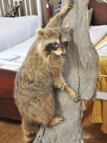 Mounted Raccoon | Period: c1980s