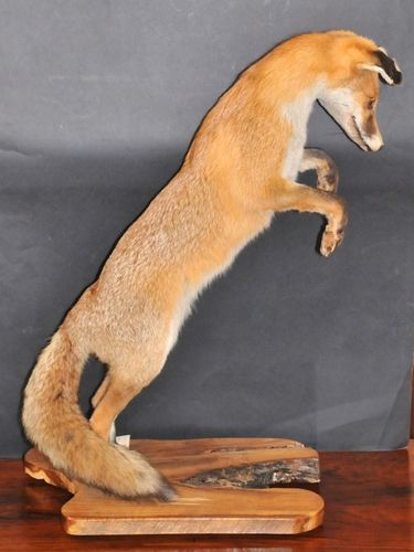 Fox Trophy Mount | Period: 1970s