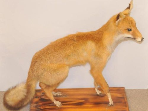 Standing Fox Mount | Period: c1970