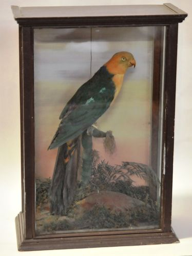 King Parrot | Period: Victorian c1890 | Material: Taxidermied King Parrot in timber case.
